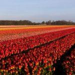 Ολλανδοί χωρίς τουλίπες